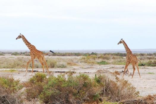 An African Safari in Amboseli National Park Kenya