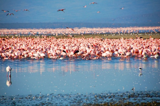 Lake Nukuru: Where To See Over Two Million Pink Flamingo's While On African Safari