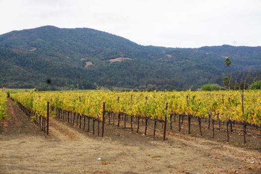 Working My First Harvest at Napa Valley's St. Supery Vineyards & Estate