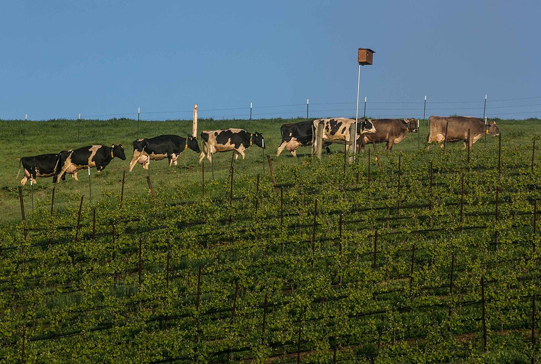 Bucher Vineyards Healdsburg