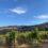 My 2021 Rombauer Vineyards Harvest Day