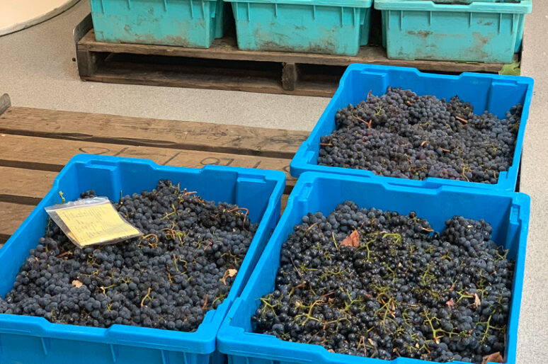 Behind The Scenes at Opus One Winery's Harvest