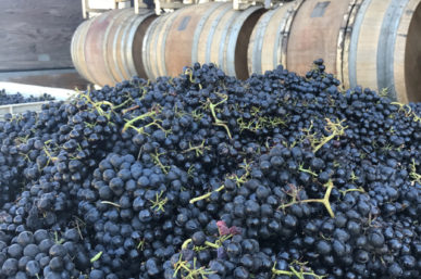 Harvest at Qupe, Au Bon Climat & Bien Nacido Vineyards
