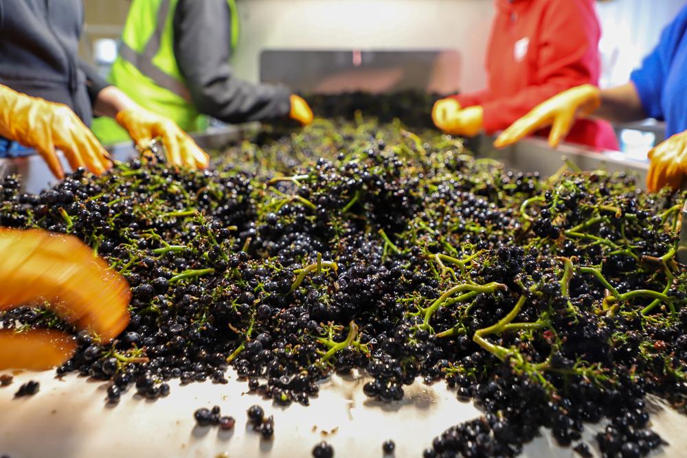 Three Sticks Wines Harvest